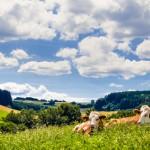 Kühe im Schwarzwald