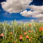 Getreidefeld, blauer Himmel